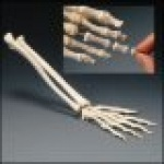 Elastic Hand Demo Model (Right only)